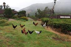 kitchenchickens