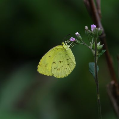 Grass yellow