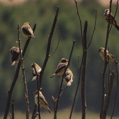 Red munia flock
